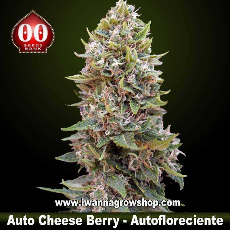 Auto cheese berry 00 seeds semilla autofloreciente for Autofloreciente interior