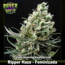 Ripper Haze – Feminizada – Ripper Seeds