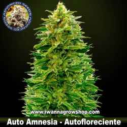 Auto Amnesia – Autofloreciente – Advanced Seeds
