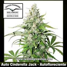 Auto Cinderella Jack – Autofloreciente – Dutch Passion