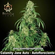 Calamity Jane Auto – Autofloreciente – Buddha Seeds