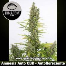 Amnesia Auto CBD – Autofloreciente – Dinafem Seeds