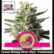Lemon Shining Silver Haze – Feminizada – Royal Queen