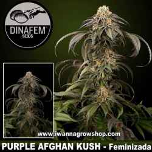 Purple Afghan Kush – Feminizada – Dinafem Seeds