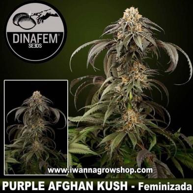 Purple Afghan Kush