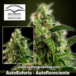 Auto Euforia – Autofloreciente – Dutch Passion