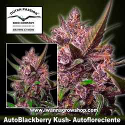 Auto Blackberry Kush – Autofloreciente – Dutch Passion