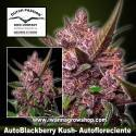 Auto Blackberry Kush