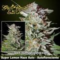 Super Lemon Haze Auto – Autofloreciente – Green House