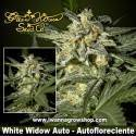White Widow Auto – Autofloreciente – Green House