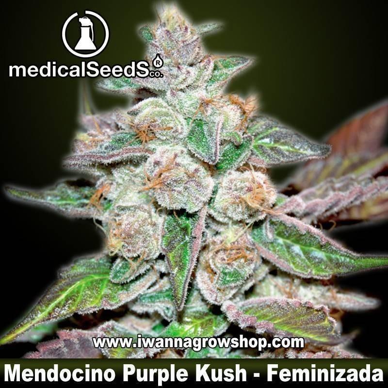 Mendocino Purple Kush