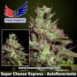 Super Cheese Express – Autofloreciente