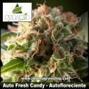 Auto Fresh Candy – Autofloreciente