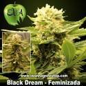 Black Dream – Feminizada – Eva Seeds