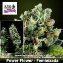 Power Flower – Feminizada – Royal Queen