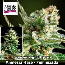 Amnesia Haze – Feminizada – Royal Queen