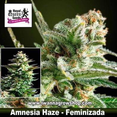 Amnesia Haze – Feminizada – Royal Queen