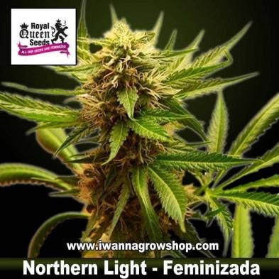 Northern Light – Feminizada – Royal Queen