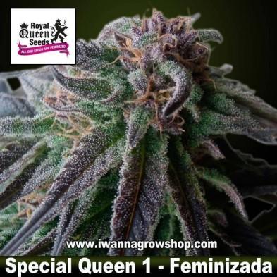 Special Queen 1– Feminizada – Royal Queen