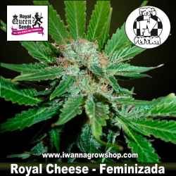 Royal Cheese Fast Version – Feminizada – Royal Queen