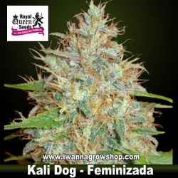 Kali Dog – Feminizada – Royal Queen