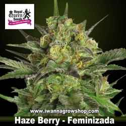 Haze Berry – Feminizada – Royal Queen