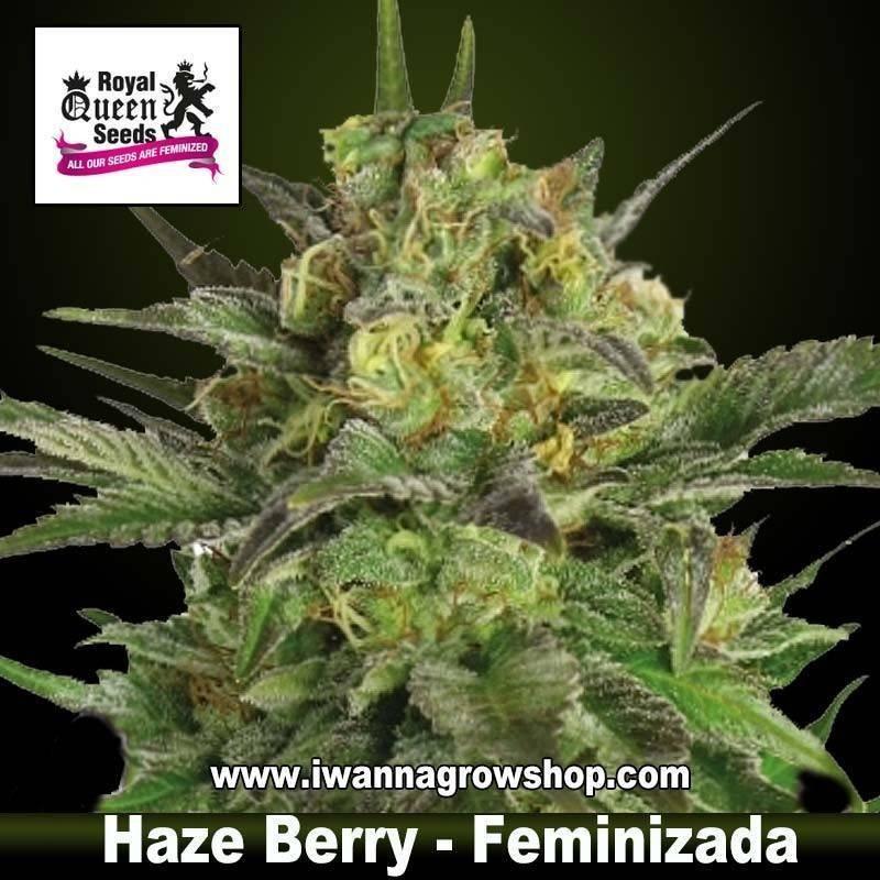 Haze Berry