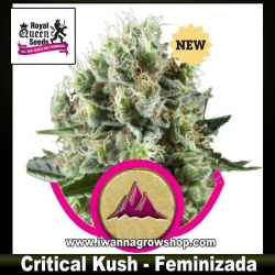 Critical Kush – Feminizada – Royal Queen