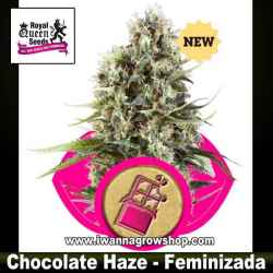 Chocolate Haze – Feminizada – Royal Queen