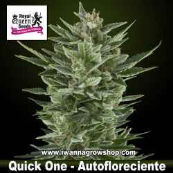 Quick One – Autofloreciente – Royal Queen