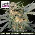 Royal Haze Automatic – Autofloreciente – Royal Queen