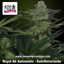 Royal AK Automatic – Autofloreciente – Royal Queen