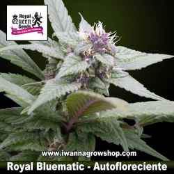 Royal Bluematic – Autofloreciente – Royal Queen