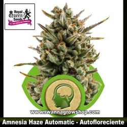 Amnesia Haze Automatic – Autofloreciente – Royal Queen