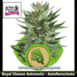 Royal Cheese Automatic – Autofloreciente – Royal Queen