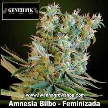 Amnesia Bilbo – Feminizada – Genehtik Seeds