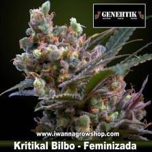 Kritikal Bilbo – Feminizada – Genehtik Seeds