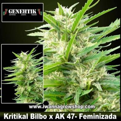 Kritikal Bilbo x AK 47 – Feminizada – Genehtik Seeds