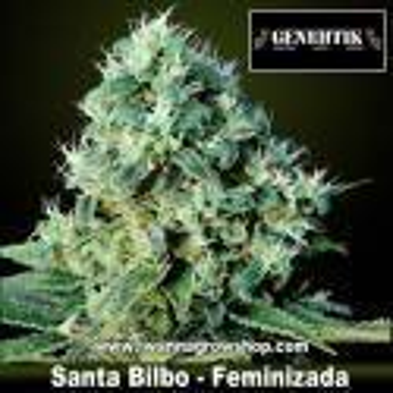 Santa Bilbo – Feminizada – Genehtik Seeds