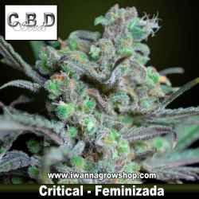 Critical – Feminizada – CBD Seeds
