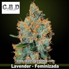 Lavender – Feminizada – CBD Seeds