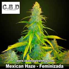 Mexican Haze – Feminizada – CBD Seeds