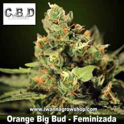 Orange Big Bud – Feminizada – CBD Seeds