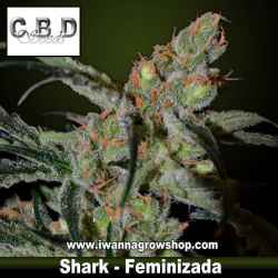 Shark – Feminizada – CBD Seeds