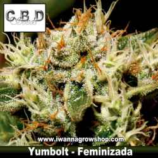 Yumbolt – Feminizada – CBD Seeds