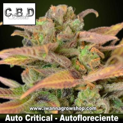 Auto Critical – Autofloreciente – CBD Seeds