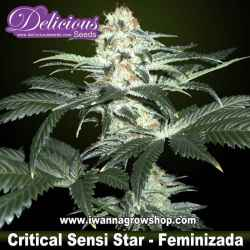 Critical Sensi Star – Feminizada – Delicious Seeds