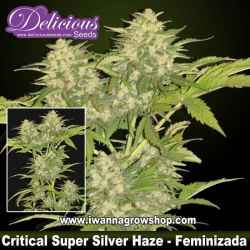 Critical Super Silver Haze
