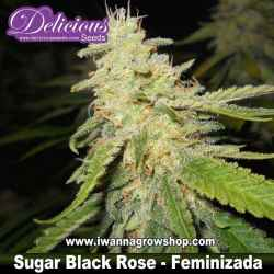 Sugar Black Rose – Feminizada – Delicious Seeds