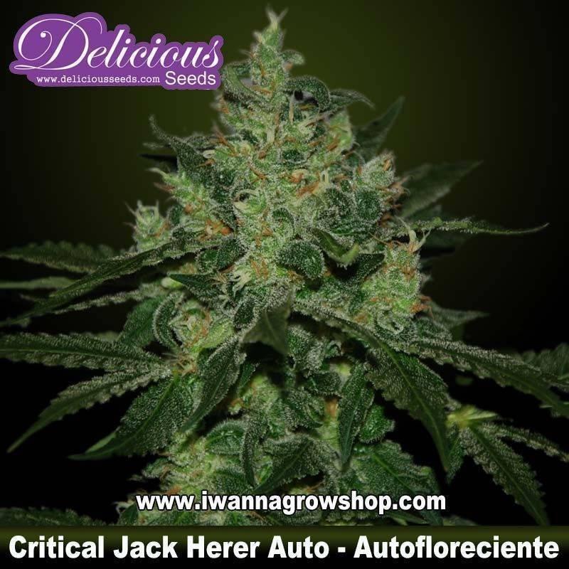 Critical Jack Herer Auto